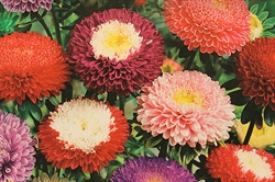 Asters pompon blanding