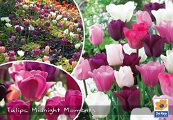 Tulipan mix Midnight Moments 30 løg