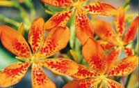 Loepardblomst Orange Flame