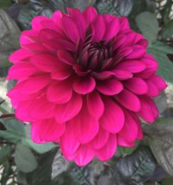 Dahlia Purple Flame 1 stk