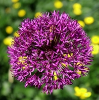 Allium Purple Sensation 5 løg