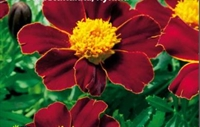 Tagetes Disco Red