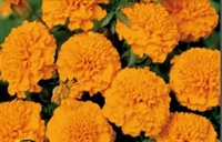Tagetes Orange Boy