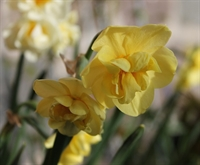 Narcis Yellow Cheerfulness 8 løg